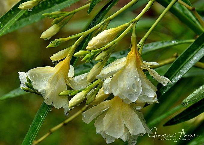 Yellow Oleander with Water Droplets