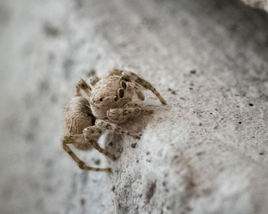 Tiny tiny jumping spider. He is about the size of a button hole.