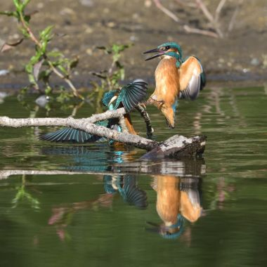 Fighting Common Kingfisher (Alcedo atthis)
