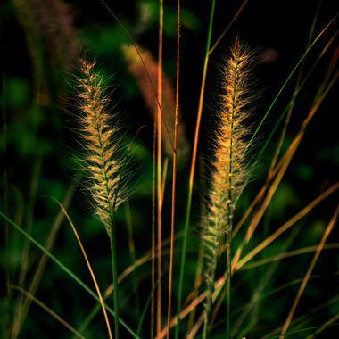 Pompass Grass Plumes