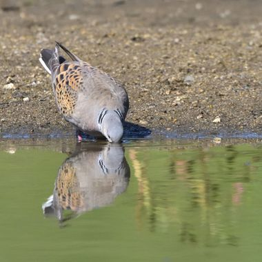 Drinking European turtle dove (Streptopelia turtur), real wildlife