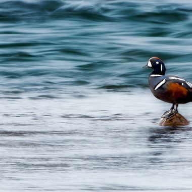 Harlequin_Duck