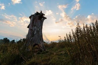 Dead tree at dawn, Pulborough