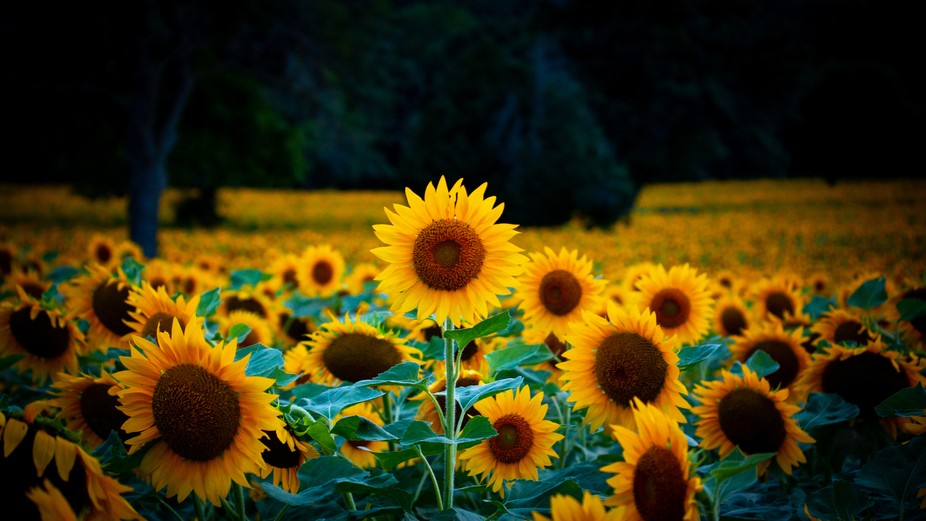 A single Sunflowerf
