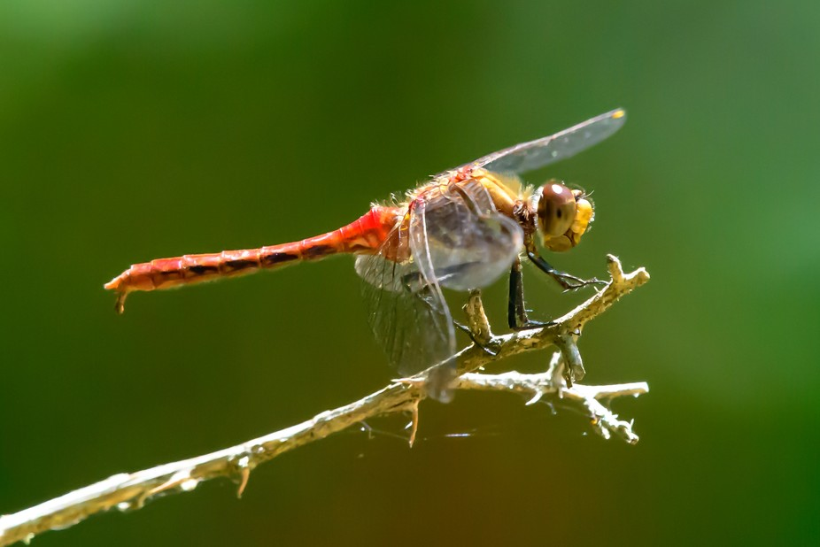 850_8873Striped Meadowhawk, (Sympetrum pallipes), dragonfly