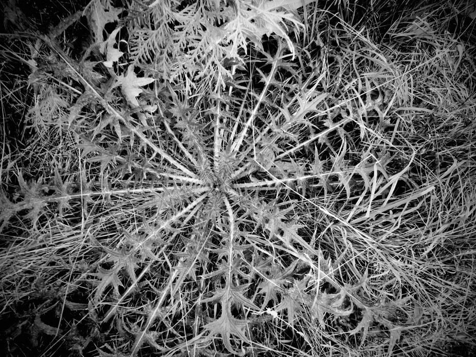 Pattern of a Thistle plant.