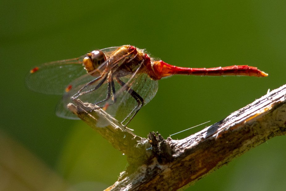 Roughly an inch & 1/2 long. Sympetrum pallipes