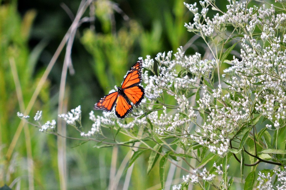 The Monarch Butterfly was collecting pollen from a white flowering weed.  Probably my best shot o...