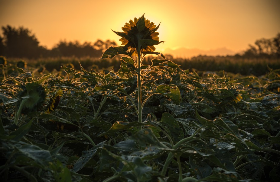 Sunrise over the sunflower farm in central NJ.