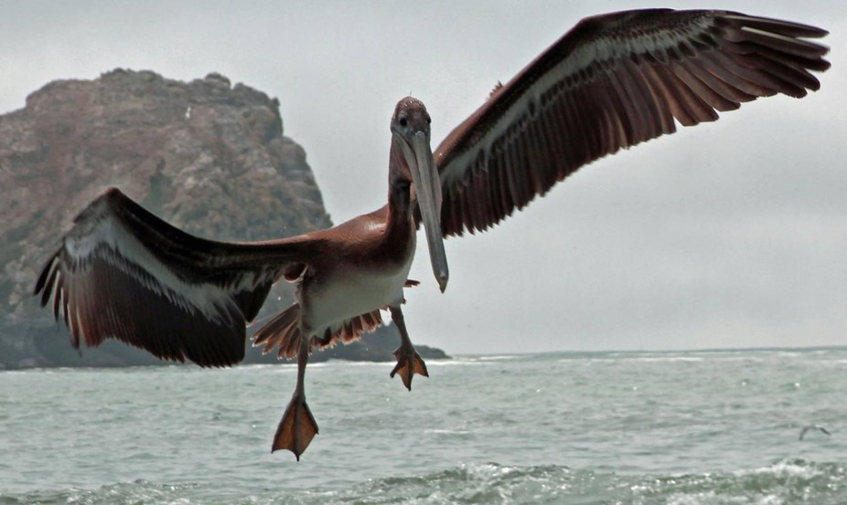 Pelicans are so prehistoric looking I felt like I was in Jurassic World when they were flying near.
