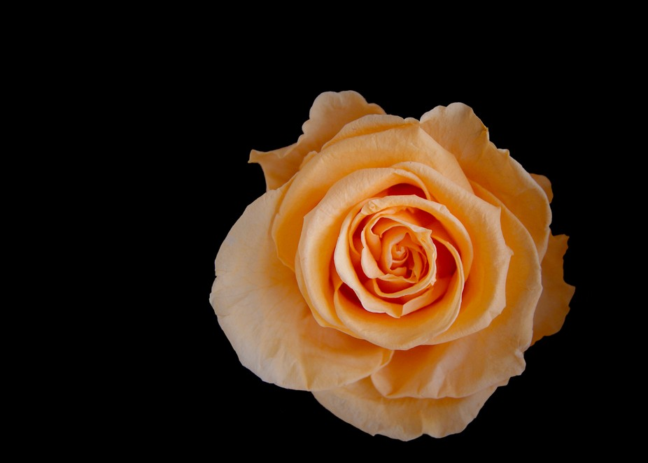A preserved Ecuadorian rose.