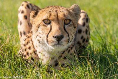 Crunch the Cheetah