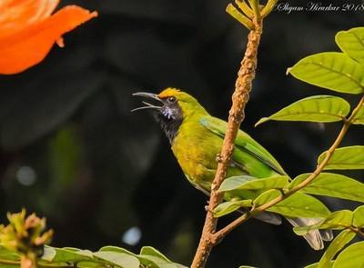 Gold Fronted Leafbird #birdsofindia #birds #bestbirdshots #eye_spy_birds #indianwildlifeofficial #wildlifephotography #wildlife #nikonindiaofficial #nikon #natgeoyourshot #natgeo #planetbirds #pocket_birds #eow #edgeofwild
