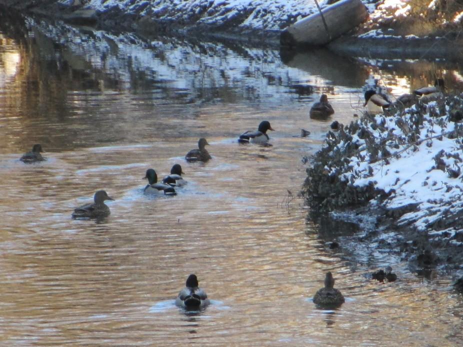 Ducks in a Row down the creek