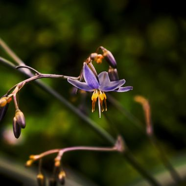 Flax Lily Blossom and Buds