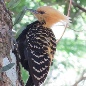 Yellow Head Woodpecker