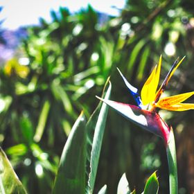 A picture of a Strelitzia Reginae, the typical flower in Madeira