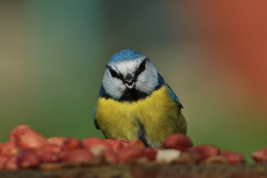 BLUE TIT excited at finding lunch...