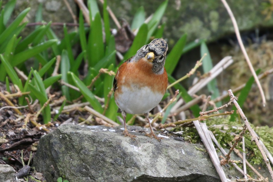 I love the expression i managed to capture on the face of this little Brambling.