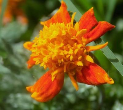 AshleyA_2_OrangeBlommetjie_Wildlife