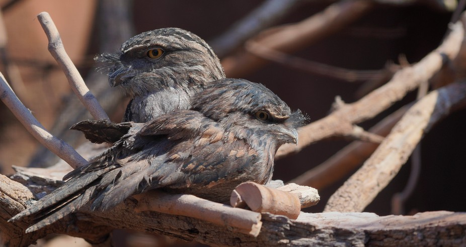 Two Frogmouths Sitting In A Tree