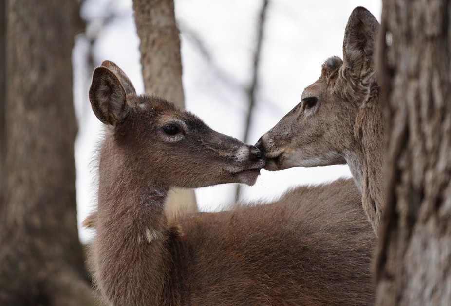 Two deer kissing in the forest. They may of been licking food off each others faces, but that morning it looked like a kiss!