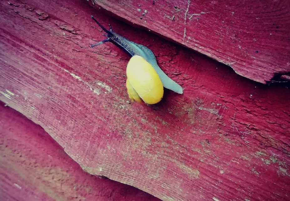 Garish yellow Gastropod with light blue/grey body climbing my garden fence.  Having trouble tryin...