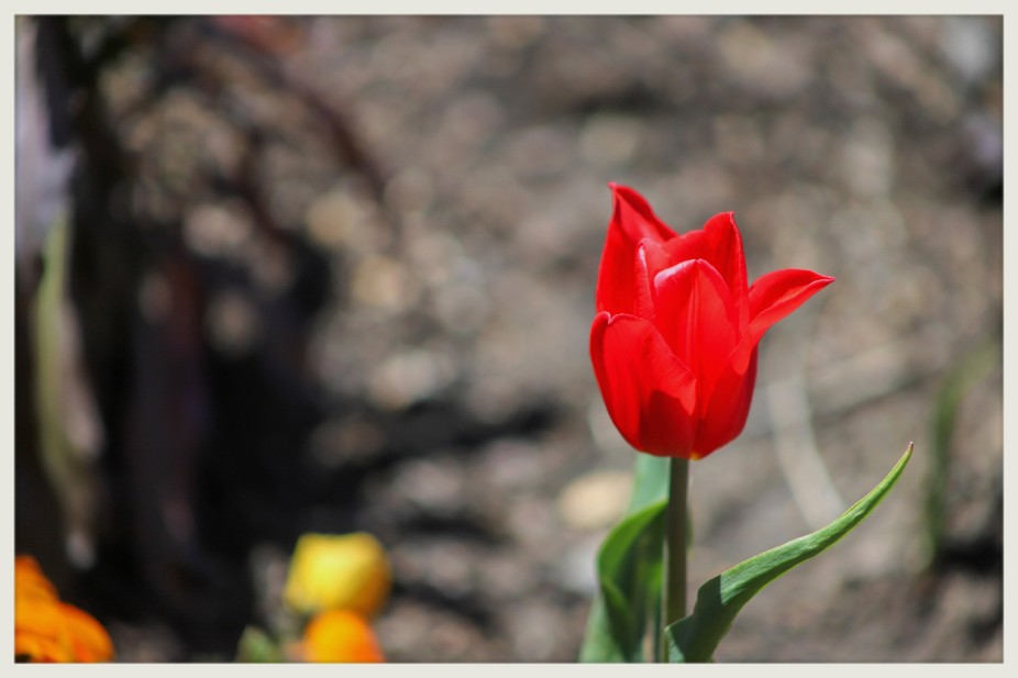 A single red tulip pops through in the spring
