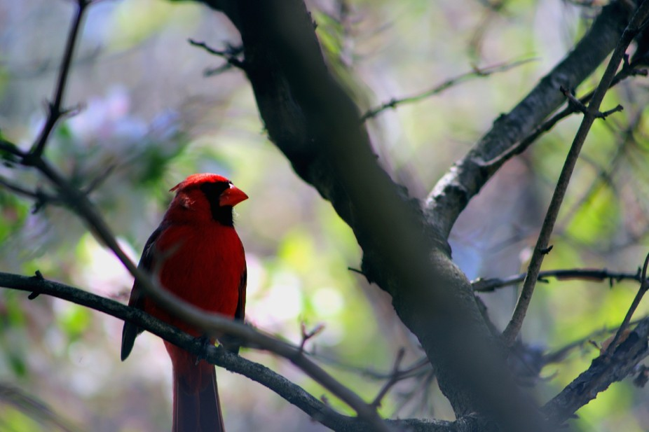 A cardinal I was able to capture through the trees