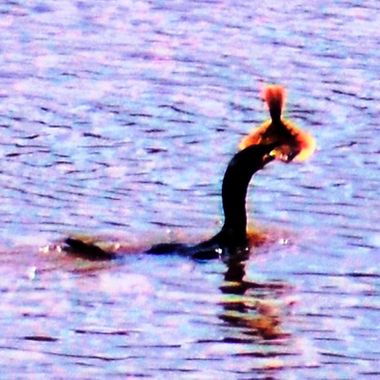 Cormorant hunting on the River Shannon at Limerick, Ireland