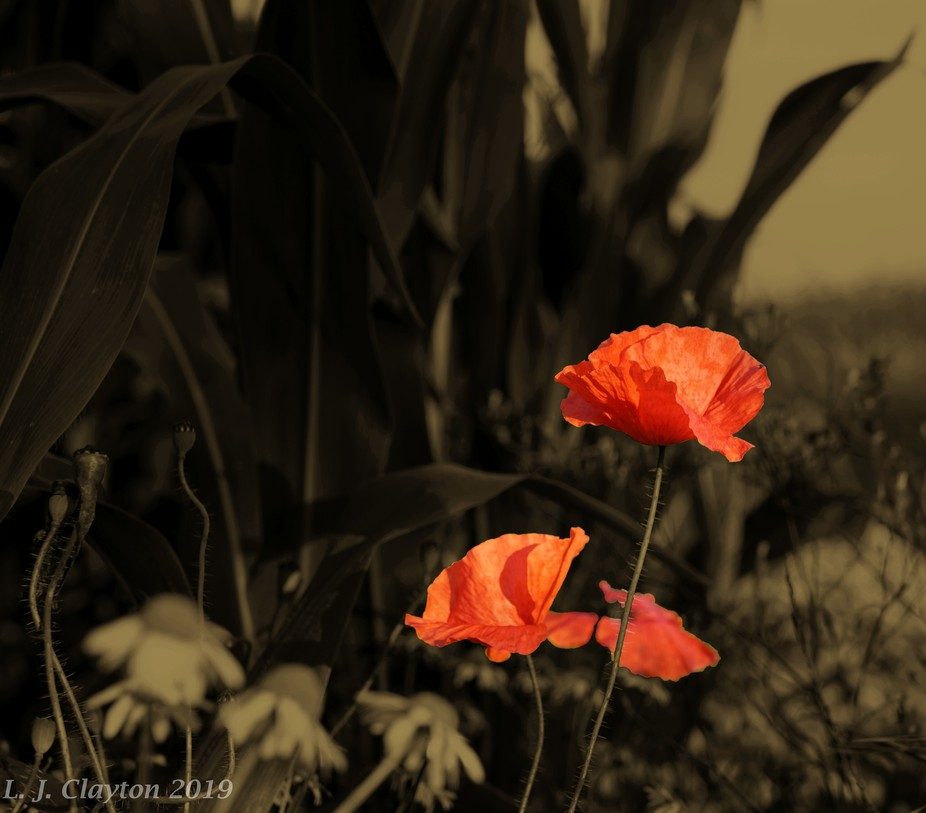Poppies in the Maize