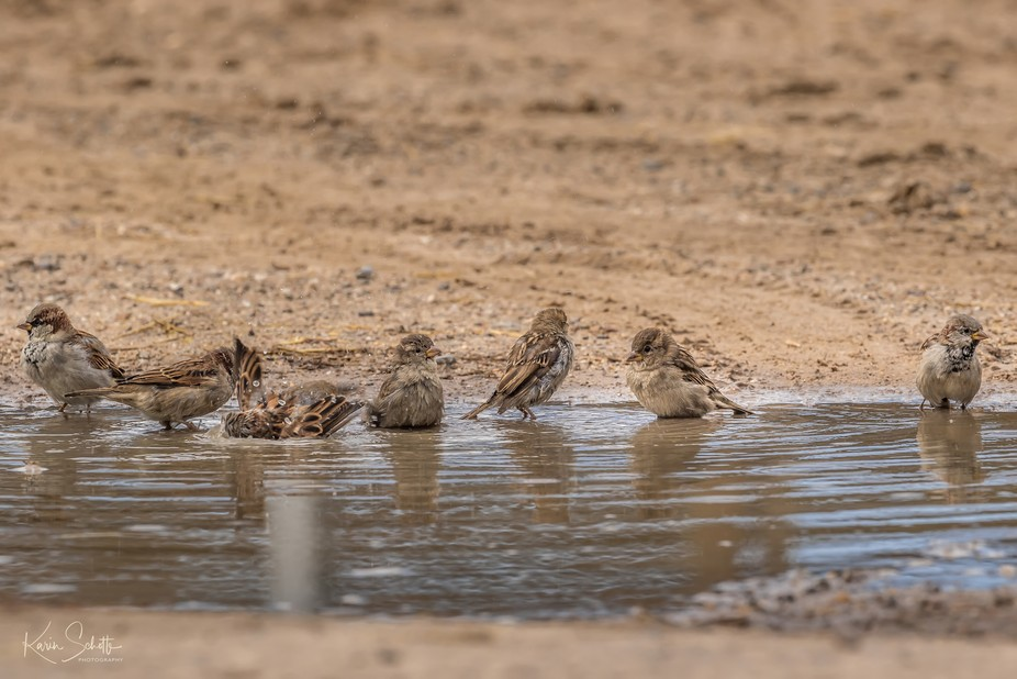7 little sparrows bathing in a puddle