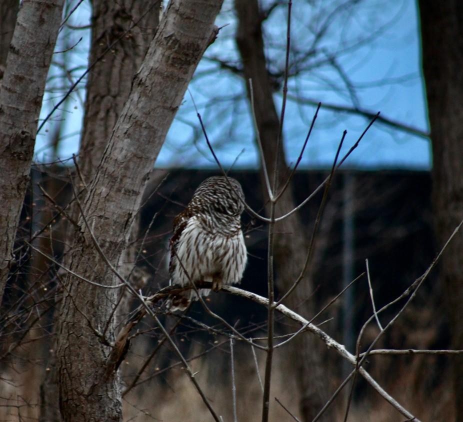 MAJESTIC OWL BY YANNIS LOBAINA